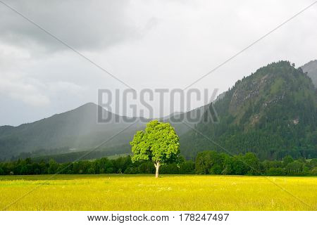 Lonely Tree In Sunlight. On The Background Alps In The Fog