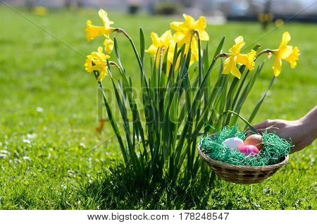 Man placing a bowl of colorful Easter eggs in the garden alongside a clump of vivid yellow daffodils in green grass as he prepares for the kids traditional egg hunt