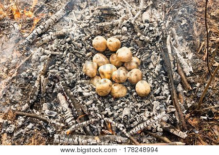 Begin Cooking Potatoes In The Fire. Potatoes Thrown In Ashes.