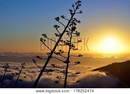 Sunrise over the sea of clouds and stems of agave flower