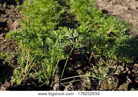 Organic vegetables growing in the garden in the summer