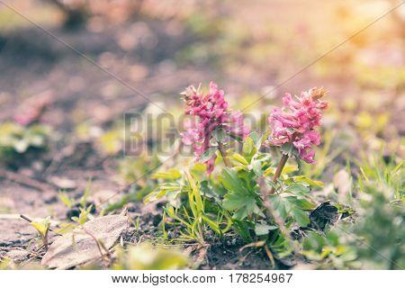 Wild Violet Blooming Corydalis