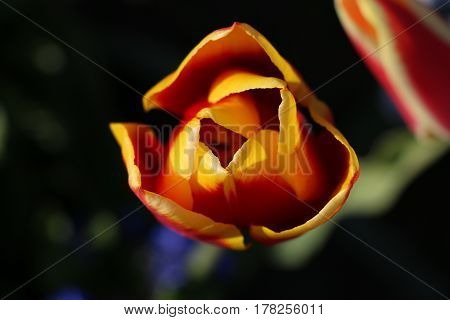 Tulpe tulip rot red gelb yellow Blume flower Pflanze plant blühen Frühling spring Ostern easter