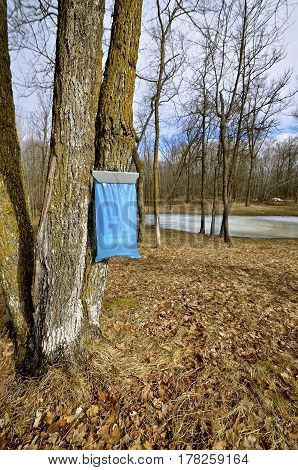 Blue bag hangs from a maple tree as it collects sap in the spring