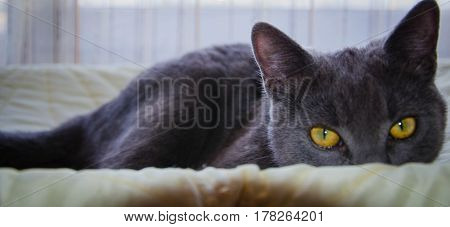 The russian blue breed's cat wit yellow eyes