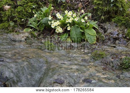 Primrose By Cotswold Woodland Stream