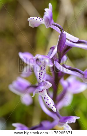 Wild orchid in Sardinia natural hybrid grows in the undergrowth.