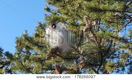 Spider webs in a pine tree, Tuscany