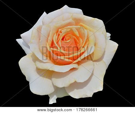 A close up of the flower white rose with raindrops on petals. Isolated on black.