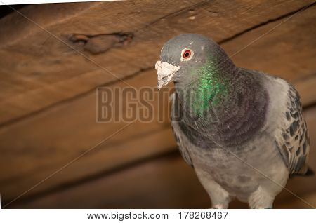 A close up of a gray pigeon