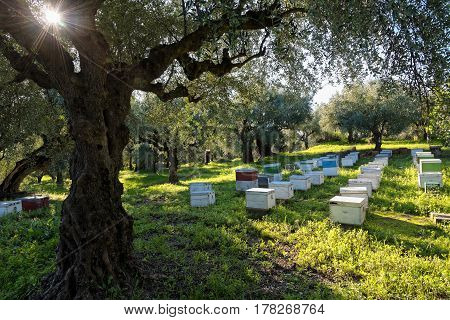 Beehives in a field with olive trees in Peloponnese, Greece