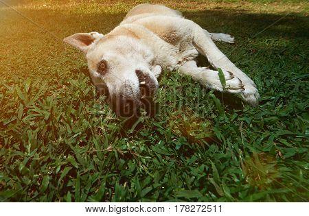 One German Shepherd Lay On Grass