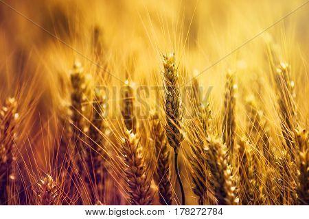 Beautiful golden wheat ears in field rural scenery selective focus