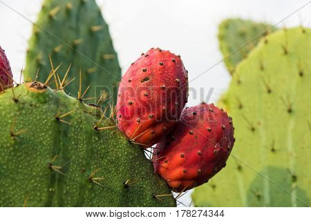 Red prickly pears in early morning moisture
