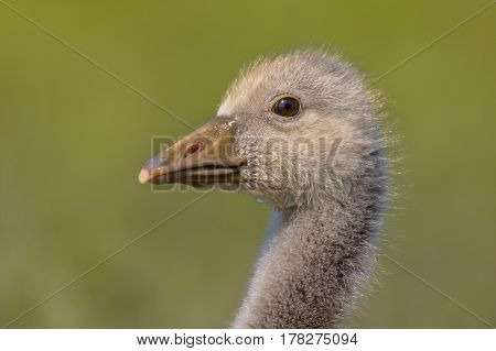 Cute Head Of Greylag Goose Chick