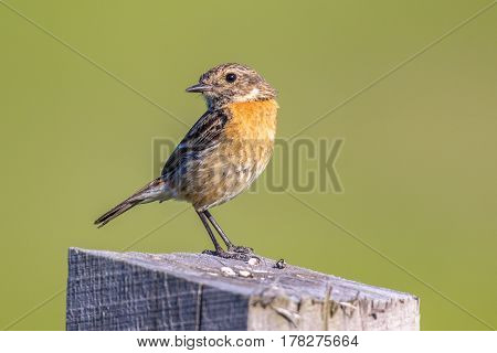 Female European Stonechat Looking Backward