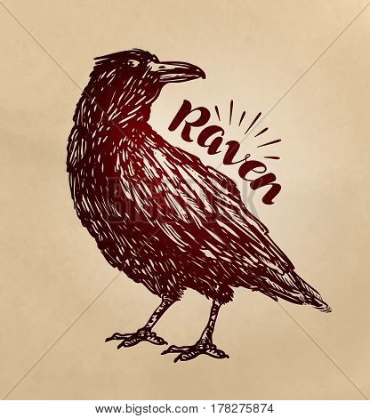 Vintage drawn raven. Crow, bird sketch vector illustration
