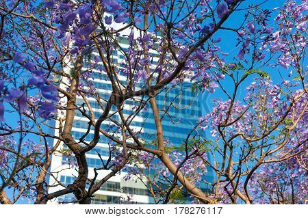 Blooming jacaranda tree with purple flowers and skyscraper on the background