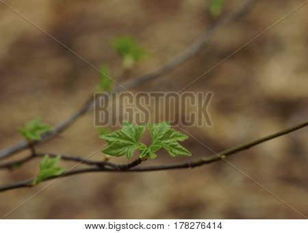 Sweet gum tree double leaf budding in spring time with horizontal branch