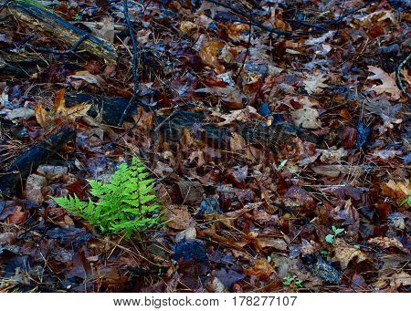 Horizontal Nature's carpet in the woods with downed leaves and spring time Fern emerging