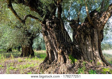 Trunk of old olive tree in Peloponnese, Greece
