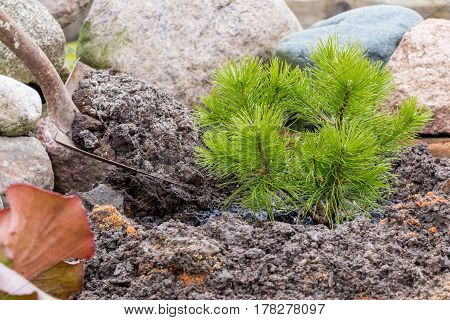 Garden, agricultural, farming work, transplantation, replantation and planting a young pine, embedment  and digging in the ground