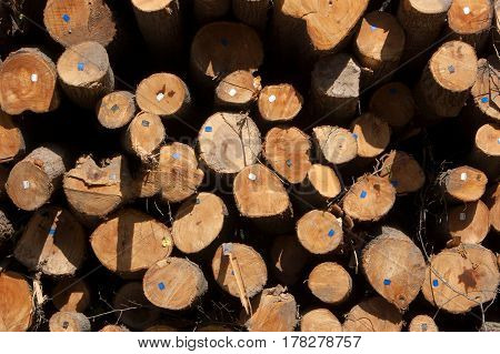 Wood texture of cut tree trunk. Cut tree trunk with annual rings.