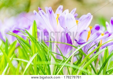 The Field With Crocuses In The Wild Nature
