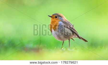 Red robin (Erithacus rubecula) hopping on the ground on bright green background. This bird is a regular companion during gardening pursuits poster