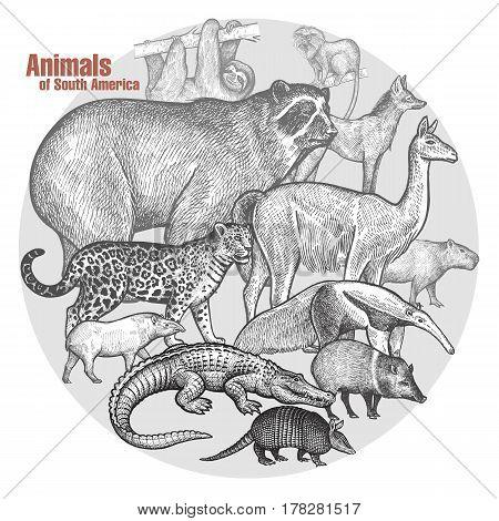 Animals of South America. Vector illustration art. Poster with a spectacled bear llama jaguar tapir anteater caiman battleship sloth wolf lion tamarin capybara wild pig. Vintage engraving.