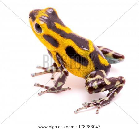 Poison arrow frog, an amphibain with vibrant yelllow.Tropical poisonous rain forest animal, Oophaga pumilio isolated on a white background.