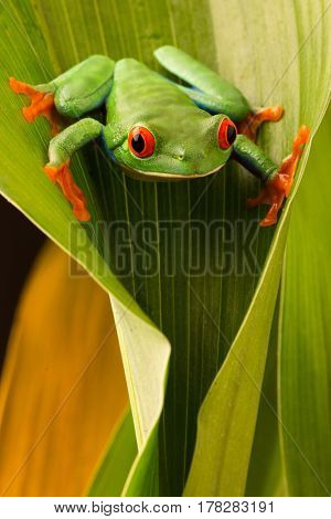 Red eyed tree frog lookingdown from a leaf in the tropical rain forest of COsta Rica. Agalychnis callydria a nocturnal animal with vibrant eyes.