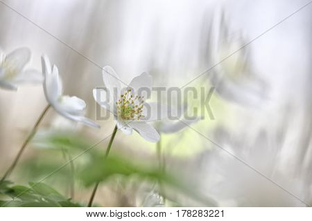 Wildflower minimalism, macro of spring wild flowers, Anemone nemorosa, on a soft white background. Romance and spiritual floral.