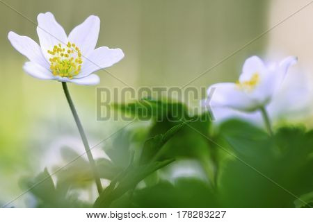 Early spring wild flowers, Anemone nemerosa or wood anemone. The arrival of new life.