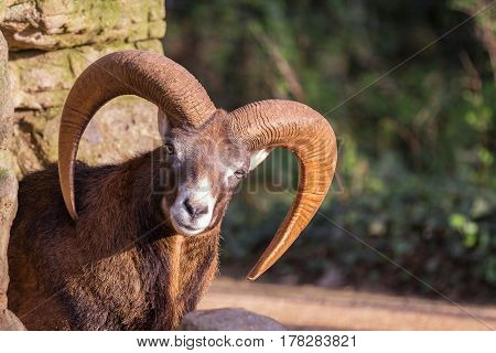 Beautiful mouflon male peaking from behind a rock formation.