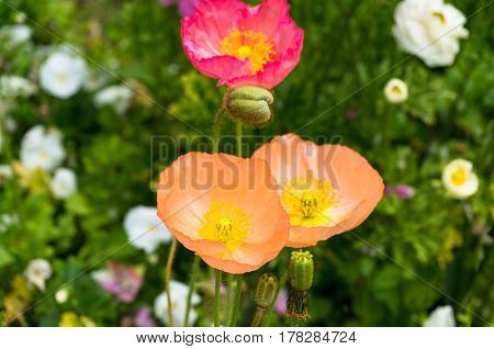Delicate Soft Oriental Poppy Flowers On Flowerbed
