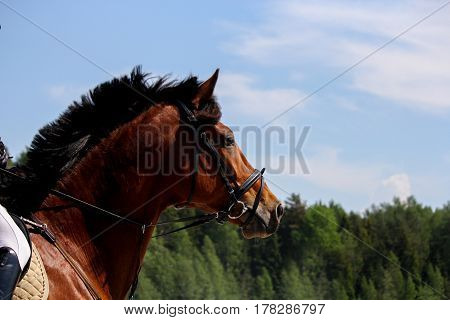 Close Up Of Brown Horse With Bridle