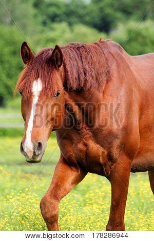 Beautiful Chestnut Horse Portrait In The Pasture