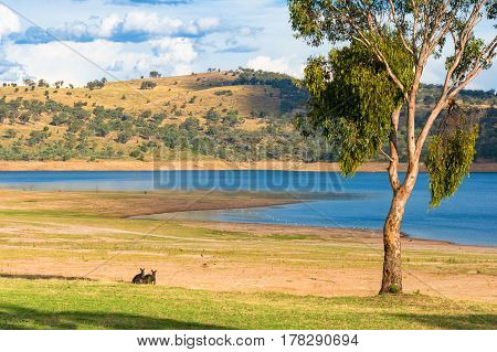 Two Kangaroos Grazing On Green Grass Near The Lake