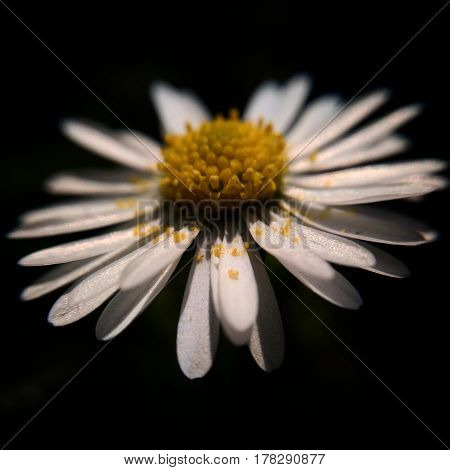 This is a macro photography of daisy with a blackbackground