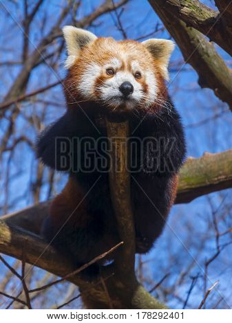 Red or Lesser Panda is resting on a tree - Ailurus fulgens