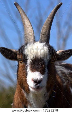 Close up head shot of young goat
