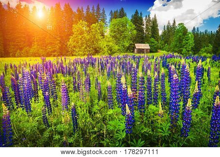 Carpathian Valley With Blue Summer Flowers