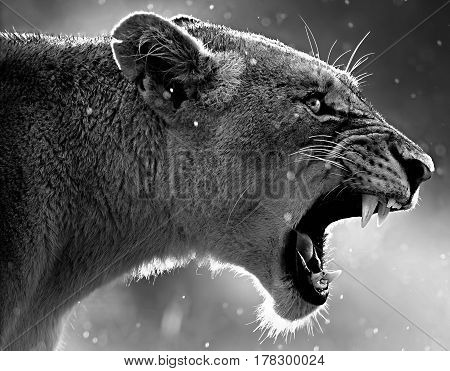 Aggression Lion Face teeth eyes side view