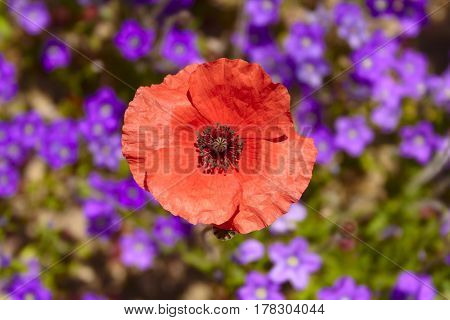 Springtime. Poppies in a field with purple flowers (Italy). Rural landscape with spring wildflowers.