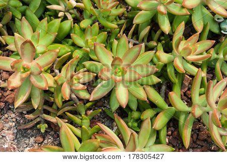 Closeup To Sedum Nussbaumerianum Coppertone Stonecrop, Succulent And Arid Plant