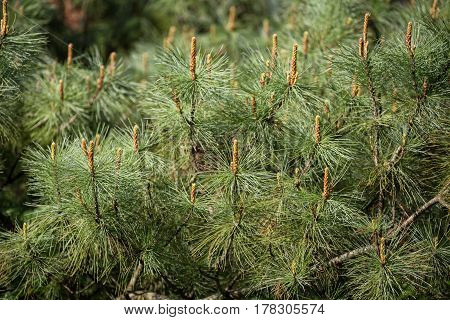 Siberian dwarf pine (Pinus pumila) with young shoots in spring