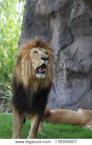Large lion with his mouth open showing his teeth as he growls.