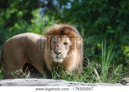 Very expressive face of a male lion standing on a rock.