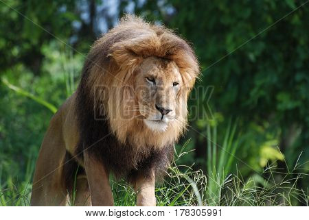 Large male lion with a thick bushy mane around his head.
